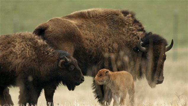 Des bisons.