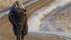 Un fossile d'un ancêtre du bison vieux de 130 000 ans découvert au Yukon