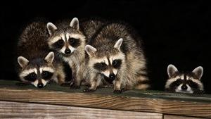 Une famille de ratons laveurs