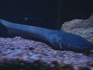 Les scientifiques ont découvert que l'anguille retournait sur son lieu de naissance, dans la mer des Sargasses, pour frayer à son tour