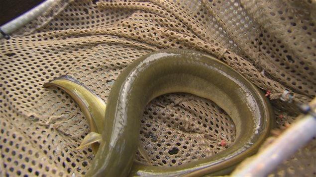 Une anguille sous observation à l'Institut Maurice-Lamontagne