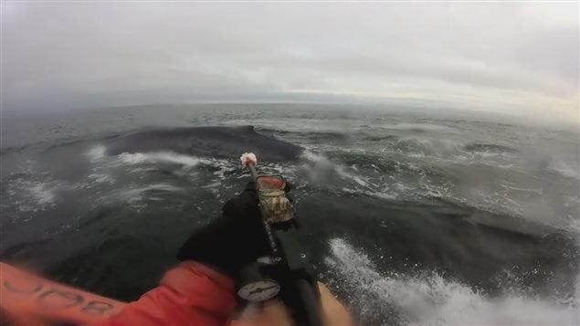 Un chercheur s'apprête à fixer l'émetteur sur la nageoire dorsale de la baleine bleue.