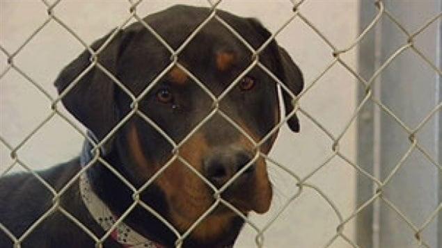 La police a précisé que le chien en question est une race croisée de rottweiler.