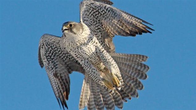 Des faucons attirent des curieux dans le secteur d'une gare de triage d'Edmonton.