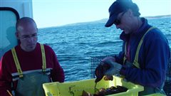 Des scientifiques de Pêches et Océans Canada mesurent la taille des homards.