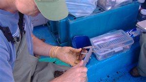 Un scientifique mesure la taille d'un petit homard.