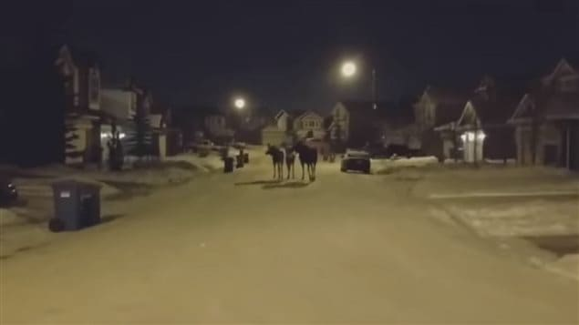 Une famille orignale se promène dans le quartier Cougar Ridge à Calgary.