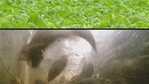 Système de culture de laitue au-dessus d'un élevage de poissons.