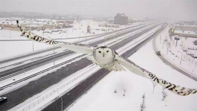 Cet harfang des neiges a été croqué sur le vif par une caméra de surveillance du ministère des Transports.