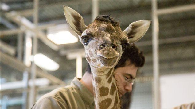 Le bébé girafe