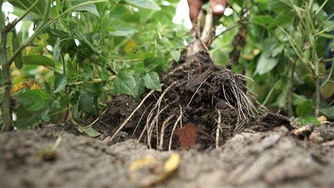 Les racines de l'amarante de Palmer