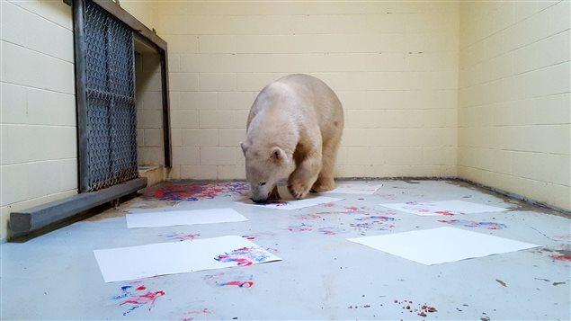 Henry l'ours polaire de Cochrane réalise des peintures avec de la peinture non-toxique.