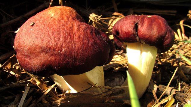 Une espèce utilisée en décontamination de sol; le strophaire rouge vin.