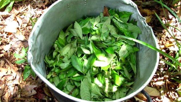 Un seau contenant des feuilles de la plante médicinale ayahuasca, au centre de retraite spirituelle Phoenix Ayahuasca Retreat, au Pérou