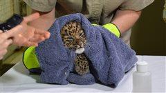 Sauver le léopard de l'Amour