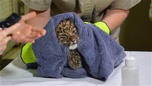 L'équipe du Zoo de Granby frotte et réchauffe le bébé léopard après sa naissance.