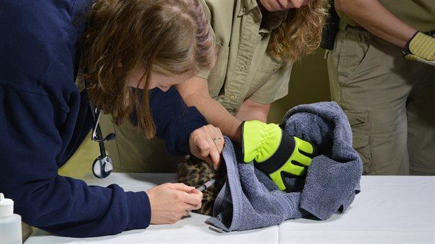 Une vétérinaire procède à une injection sur le bébé léopard.