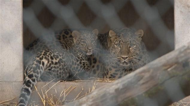 Les léopards de l'Amour au Zoo de Granby