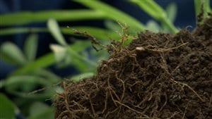 Les mycorhizes permettent aux racines d'aller chercher les nutriments dans le sol.