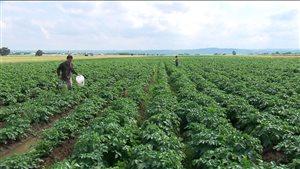 Les mycorhizes ont fait leurs preuves dans les champs de papates du Kamouraska.