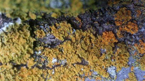 Lichens qui se nourrissent de la pierre.
