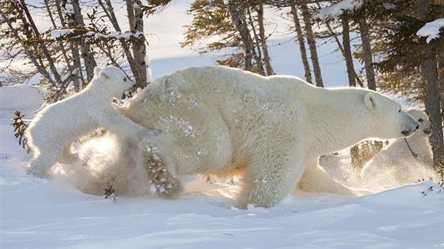 Une mère ourse sort de sa tanière au parc national du Canada Wapusk, son enfant joueur à ses talons.