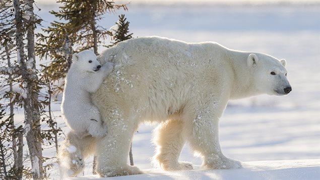 La photographe Daisy Gilardini explique que la toute première fois que les oursons sortent de leur tanière, ils sont vraiment curieux et très joueurs.