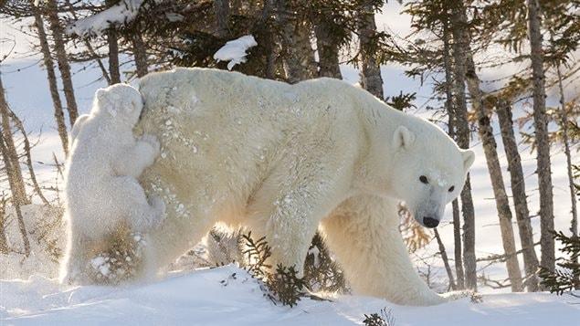 Selon Daisy Gilardini, le Manitoba est l'endroit idéal pour photographier les ours polaires, car c'est l'endroit le plus méridional où hivernent les ours.