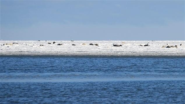 phoques au large de l'île Lamèque, au Nouveau-Brunswick