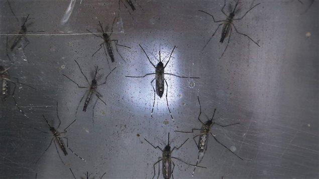 Espèce de moustique pouvant transmettre le virus zika.