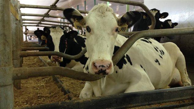 Des vaches laitières