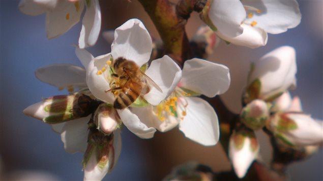Une abeille butine une fleur en Californie