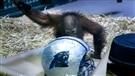 Tuah le singe prédit la victoire des Panthers (2016-02-04)