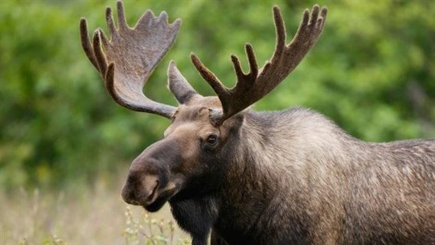 50 chasseurs ont été transportés par voie aérienne pour tuer des orignaux au parc national Gros-Morne.
