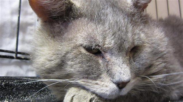 Ce chat a voyagé de Toronto à Calgary à bord d'un camion avant d'être découvert et remis à la fondation MEOW.
