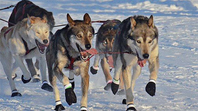 Des chiens de traîneaux lors du Yukon Quest 2016