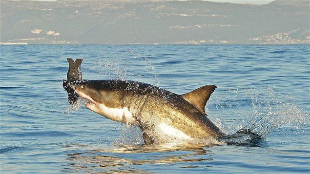 Un requin blanc saute hors de l'eau afin d'attrapper une imitation d'un phoque, à False Bay, en Afrique du Sud. (2010)