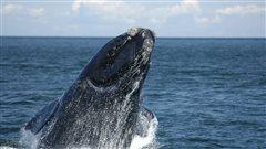Étude sans précédent sur les baleines noires de l'Atlantique Nord