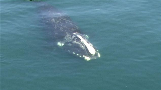 Les baleines noires ont été retracées jusque dans le golfe Saint-Laurent.