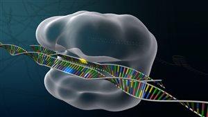 Corriger les gênes défectueux afin de pouvoir guérir les maladies génétiques: un rêve devenu réalité