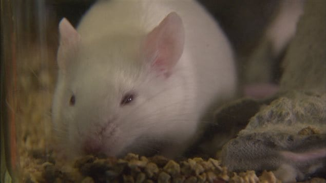 Une souris en laboratoire