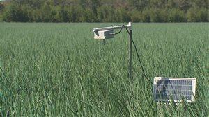 Un capteur de spores dans un champs d'oignons.