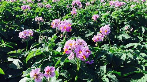 Les plants de la Smilin' Eyes produisent des fleurs roses.