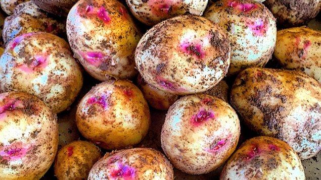 Une nouvelle variété de pommes de terre, aux yeux roses, cultivée à l'Île-du-Prince-Édouard.