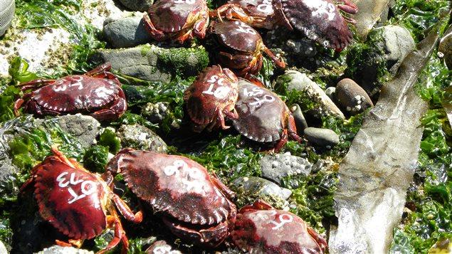 Des crabes rouges sur les côtes britanno-colombiennes