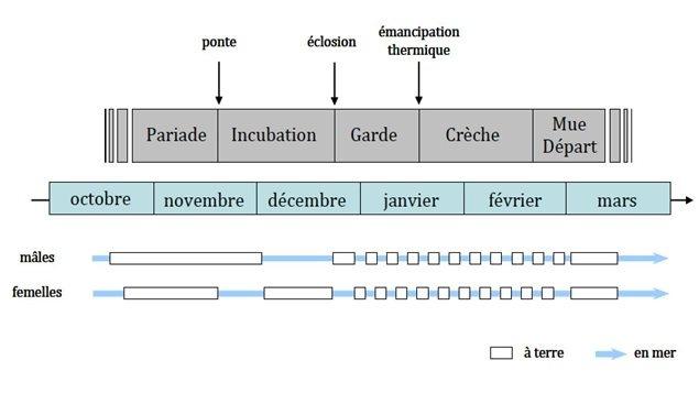 Le cycle de reproduction du manchot Adélie s'étend d'octobre à mars, entre la débâcle estivale de la banquise et le début de l'embâcle hivernale.