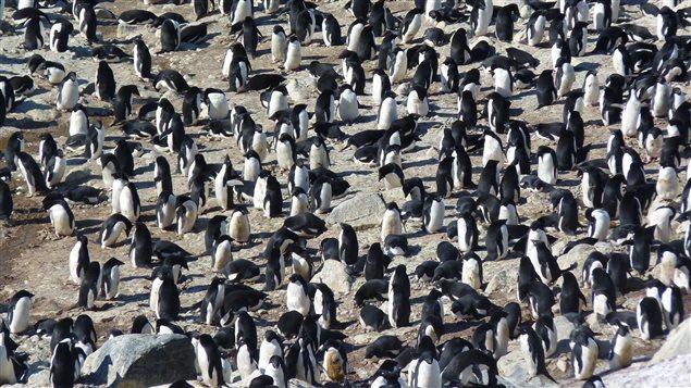 Une colonie de manchots sur l'île des Pétrels