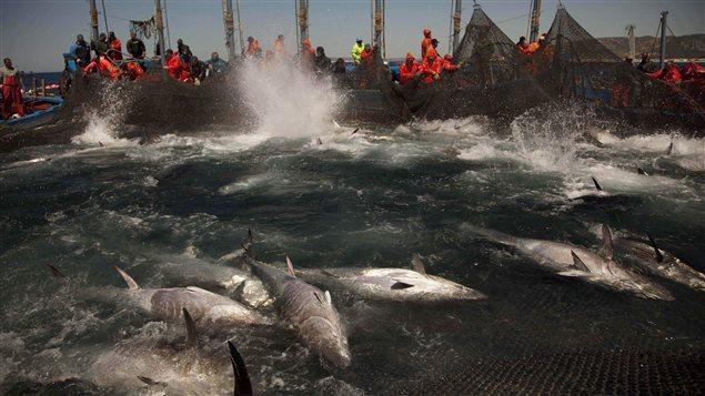 Surpêche de thon