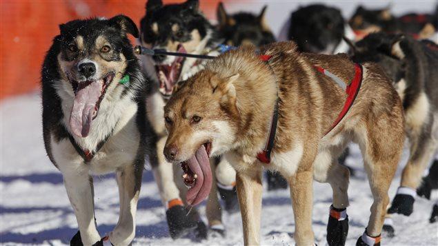 Un traîneau à chien participant à la course Iditarod, en Alaska