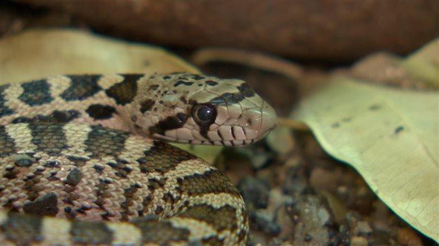 Un jeune garçon d'Edmonton a eu la surprise de trouver un python royal dans sa chaussure.